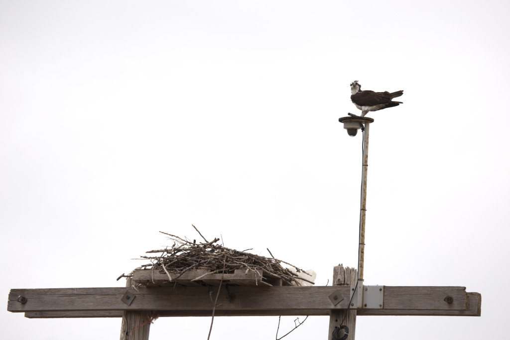 Osprey stands on pole overlooking nest of sticks